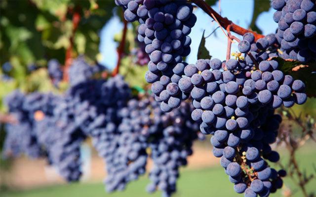 全国两收葡萄栽培技术交流暨优质冬葡萄鉴评会