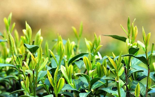 首届茶叶流通与创新高峰论坛